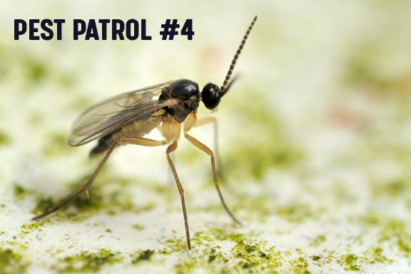 Pest Patrol - Part 4: Knowing Your Enemy - Fungus Gnats