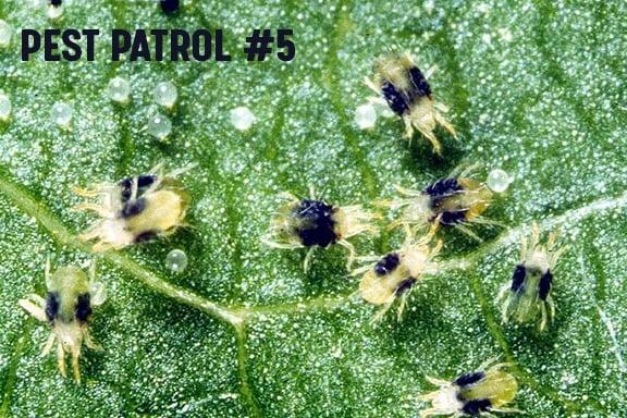 Pest Patrol - Part 5: Knowing Your Enemy - Spider Mites